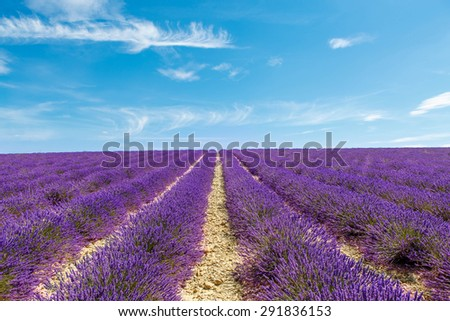 Blossoming lavender fields near Valensole in Provence, France. Rows of purple flowers. Famous, popular destination and place for tourists for making vacations in summer.