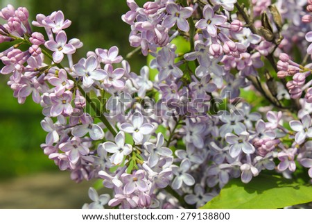 Blossoming lilac. A branch of lilac in the garden. May Flowers. - stock photo