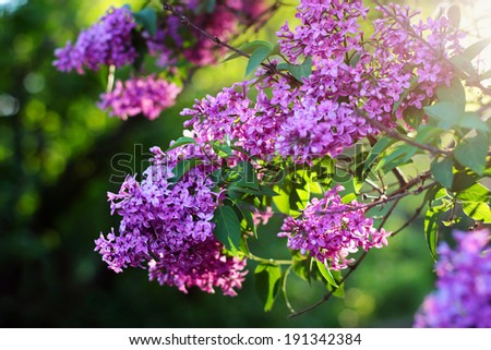 Blossoming lilac flowers - stock photo
