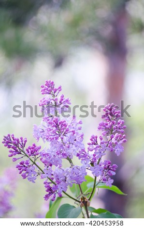 Blossoming lilac in the garden. Lilac blooms. Purple flowers. - stock photo