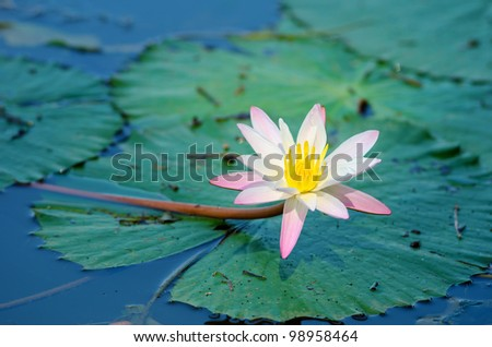 Blossoming lily flower with green leaves on water surface - stock photo