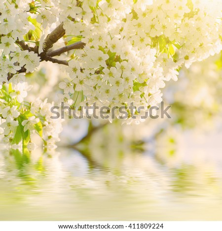 Blossoming of cherry flowers in spring time against blue sky, natural seasonal sunny background with water reflection - stock photo
