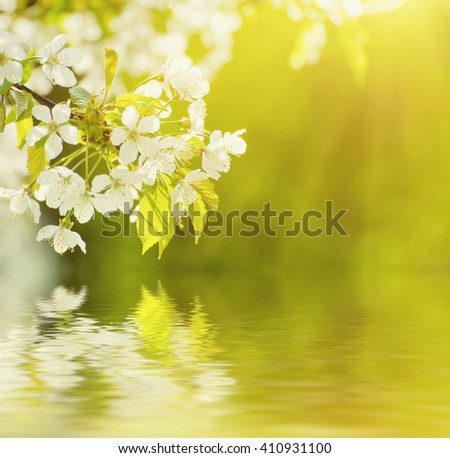 Blossoming of cherry flowers in spring time, natural seasonal green sunny background with water reflection - stock photo