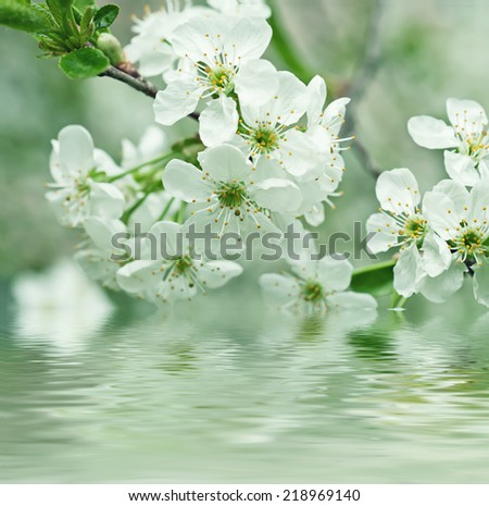 Blossoming of cherry flowers in spring time with green leaves and water reflection, macro - stock photo
