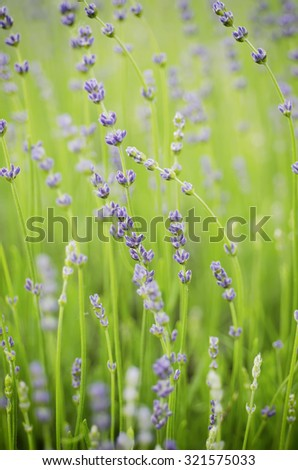 Blossoming of lavender flower, macro floral background