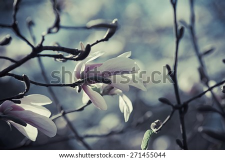 Blossoming of magnolia flowers in spring time, retro art vintage hipster image - stock photo