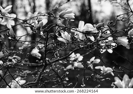 Blossoming of magnolia flowers in spring time, retro vintage black and white - stock photo
