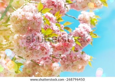 Blossoming of pink cherry blooms over blue sky. Sakura tree in full bloom. Spring flowers. Vintage style toned picture with light leaks - stock photo