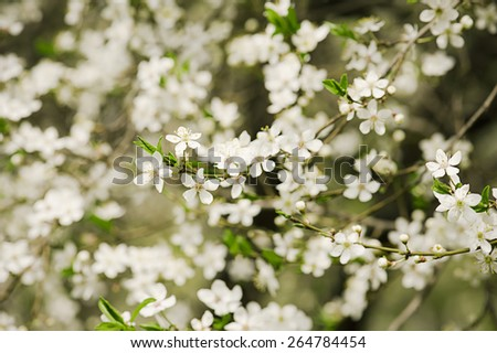Blossoming of plum flowers in spring time with green leaves, easter bckground - stock photo