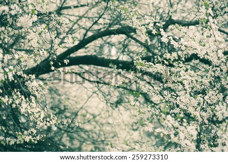 Blossoming of plum flowers in spring time with green leaves, vintage floral background - stock photo