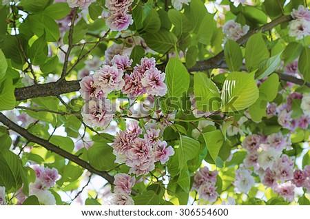 Blossoming of sakura tree flowers, natural floral spring seasonal background - stock photo