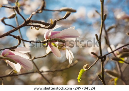 Blossoming of white magnolia flowers in spring time - stock photo