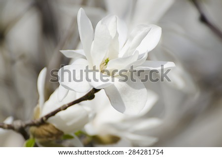 Blossoming of white magnolia flowers in spring time, natural floral seasonal background - stock photo