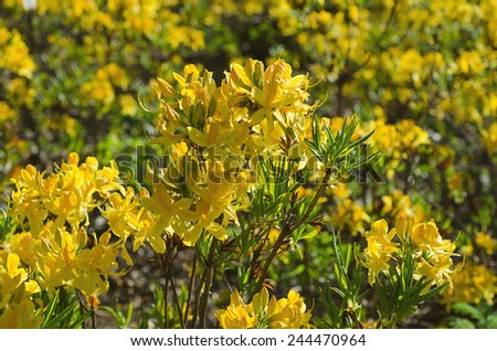 Blossoming of yellow rhododendrons and azaleas in the garden, natural flower background - stock photo