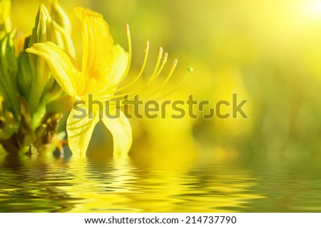 Blossoming of yellow rhododendrons and azaleas in the garden with water reflection, natural flower background - stock photo