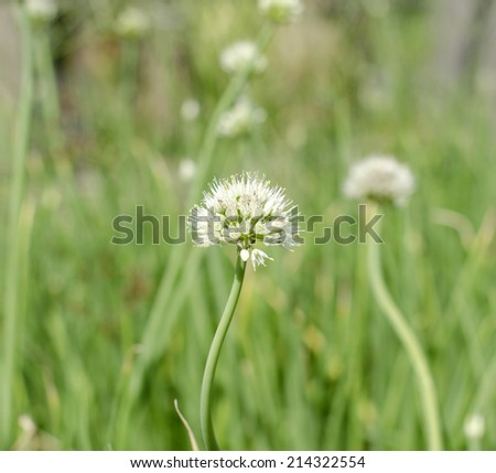 blossoming onion