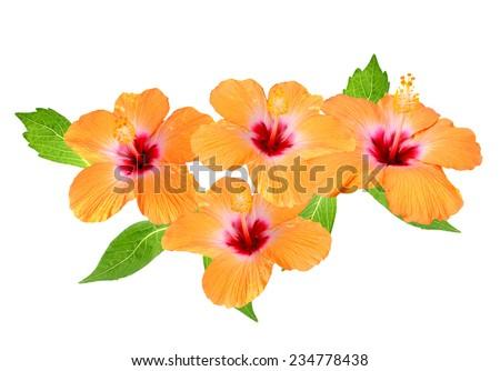 Blossoming orange flower of Hibiscus - stock photo