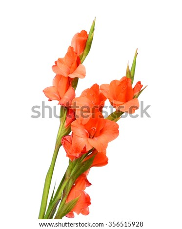 Blossoming orange lilies in a pot on a white background