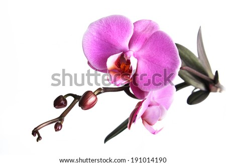 Blossoming orchid phalaenopsis, isolated on white background.