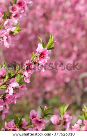 Blossoming peach. Branch with flowers, closeup. - stock photo