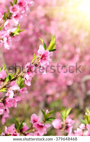 Blossoming peach. Branch with flowers, closeup. Image in high key. - stock photo
