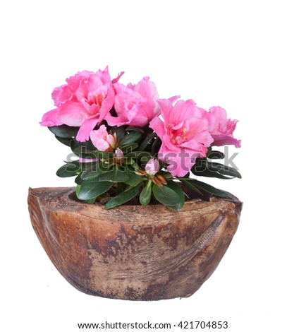 Blossoming pink azalea in a coco half, isolated, a white background
