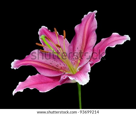Blossoming Pink Lily Flower Isolated on Black Background - stock photo
