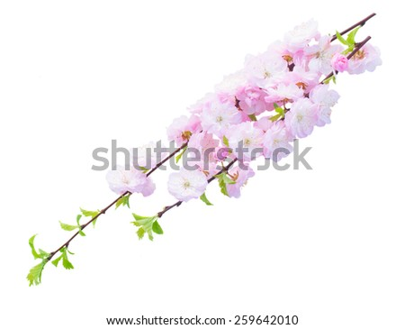Blossoming pink sacura cherry  tree branches with flowers against white background