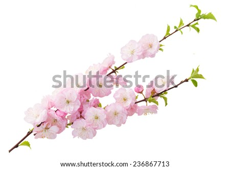 Blossoming pink sacura cherry  tree flowers against white background