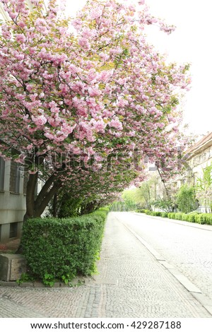Blossoming pink sakura tree in the street
