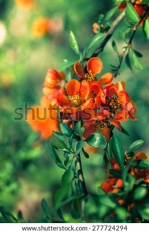 Blossoming quince branch in the garden - stock photo
