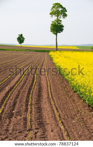 Blossoming rapeseed and arable land with the young shoots of maize. - stock photo