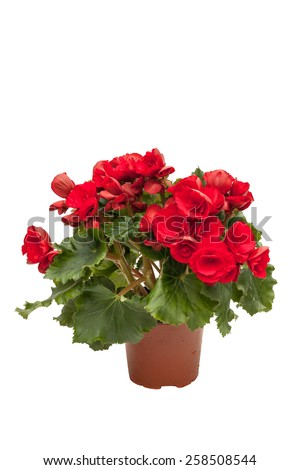 Blossoming red begonia isolated on white background - stock photo