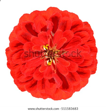 Blossoming Red Zinnia Elegans Flower Isolated on White Background