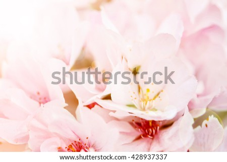 Blossoming sakura tree on blurred nature background