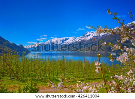Blossoming season in Hardanger fjord in Norway - stock photo
