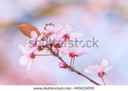 Blossoming season with pink plum blossoms - stock photo