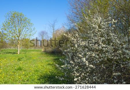 Blossoming shadbush in a sunny field - stock photo
