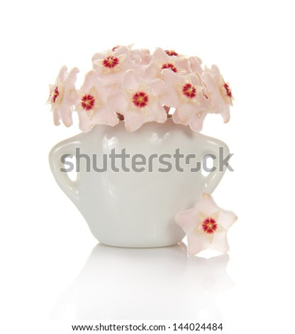 Blossoming sphere of a wax ivy in a vase and an asterisk nearby, isolated on white - stock photo
