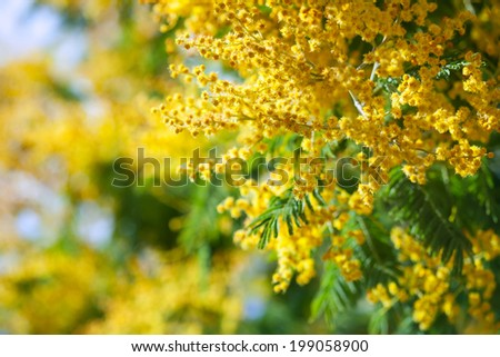 Blossoming spring Acacia dealbata with buds on blur background - stock photo