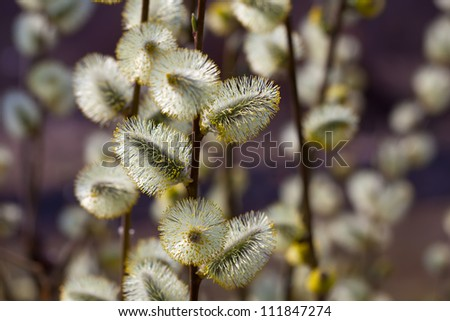 Blossoming spring willow twig with buds on blue sky background - stock photo