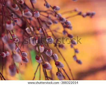 Blossoming spring willow twig with buds, Small depth of field
