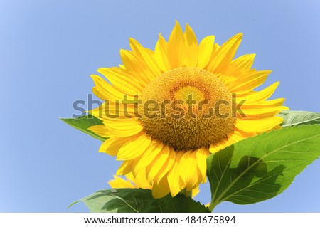 Blossoming sunflower closeup with blue sky