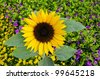 Blossoming sunflower near resort hotel in Eilat, Israel - stock photo