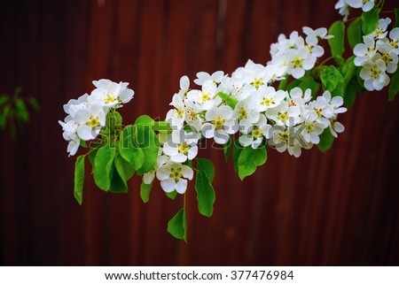 Blossoming tree branch. Spring flowering. White flowers and green leaves on a tree branch on bokeh bright brown background. Shallow depth of field. - stock photo