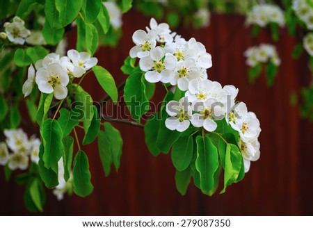 Blossoming tree branch with white flowers and green leaves on bokeh bright brown background. Shallow depth of field. Selective focus. - stock photo