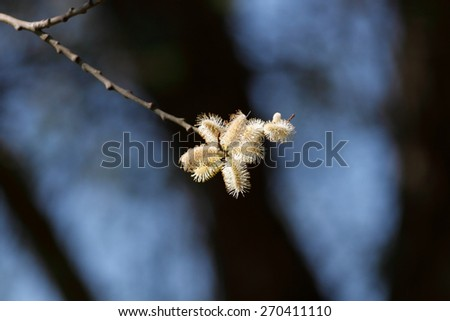 Blossoming tree in the end of winter and beginning of spring - stock photo