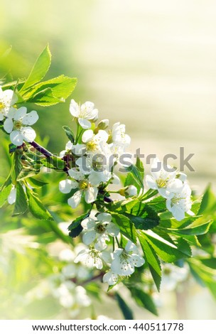 blossoming tree of a cherry - stock photo