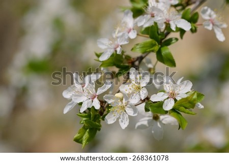 Blossoming tree. Spring nature background.  - stock photo