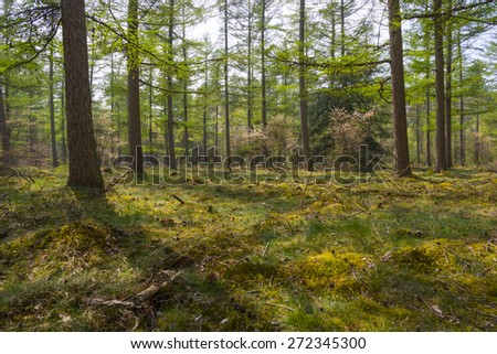Blossoming trees in sunlight in a pine forest - stock photo